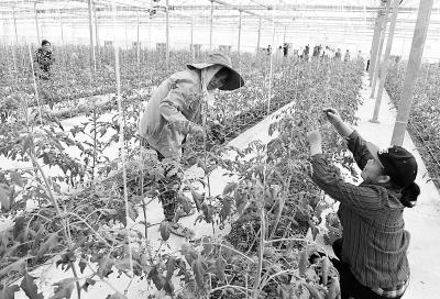 谷里抢种秋冬蔬菜